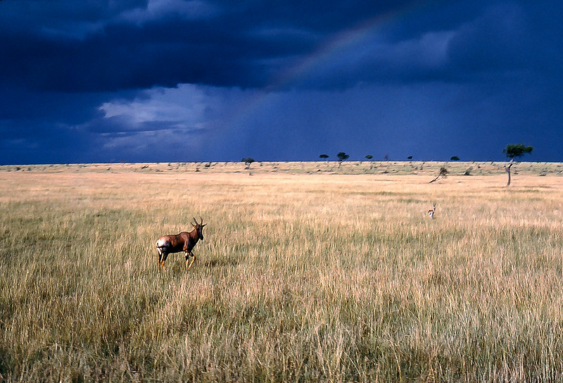 Topi in Masai Mara Game Reserve with storm brewing, Kenya, 1979