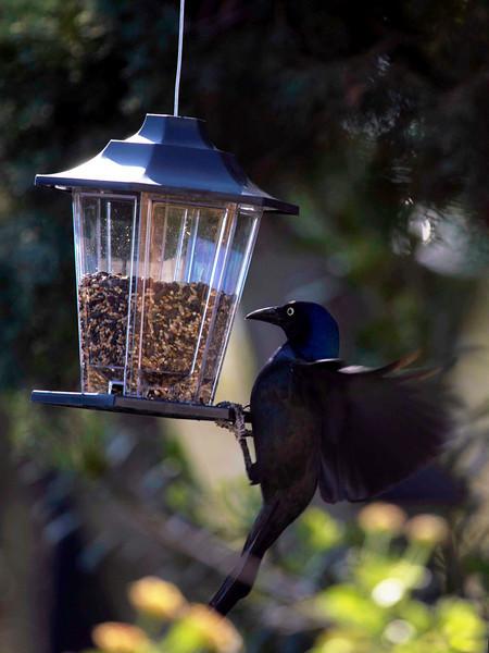A grackle finds the bird feeder ...