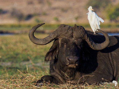 Buffalo with cattle Egret
