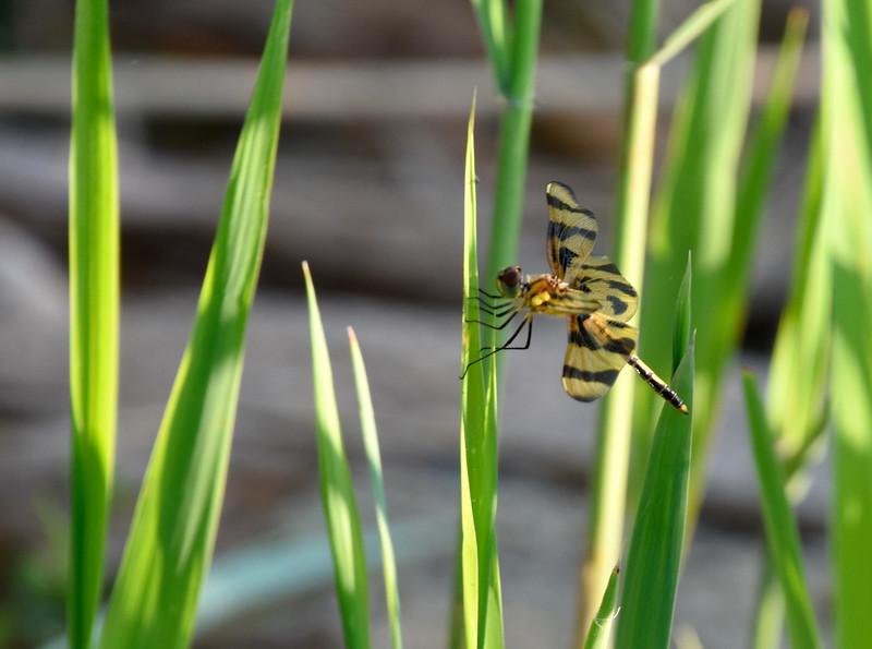 Dragonfly-Grass-leaves.jpg
