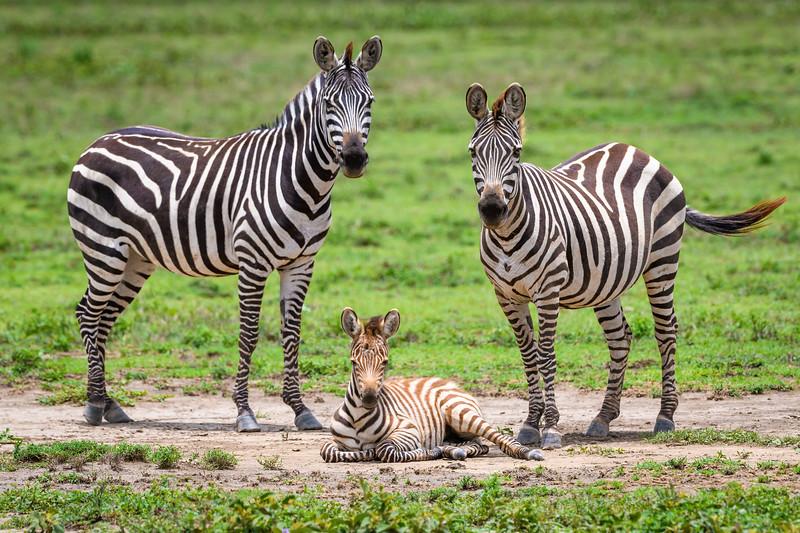 zebra trio.jpg