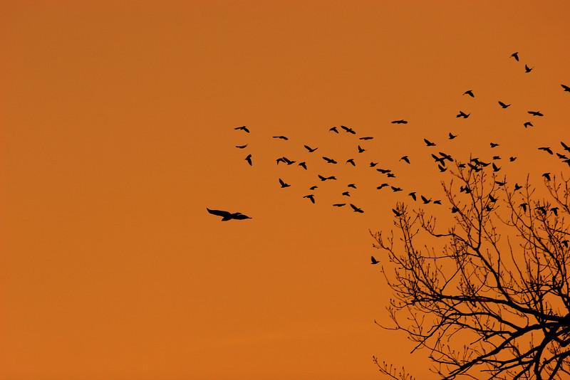 IMG_3641 hawk chase.jpg