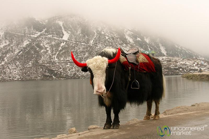 A Yak by Tsomgo Lake - Sikkim