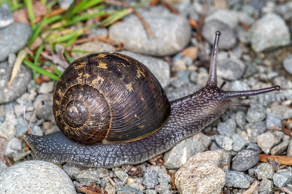 Land snails, Family Helicidae
