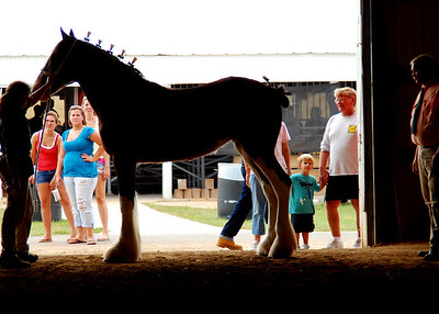 Clydesdale Halter Class