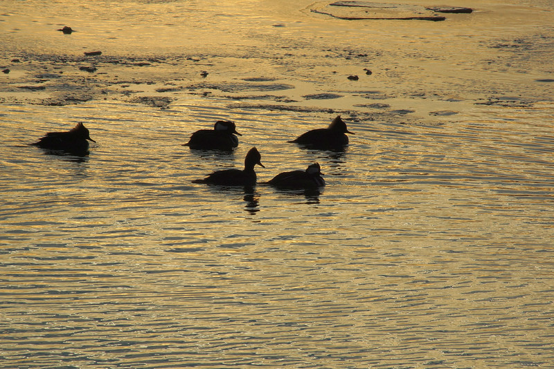 Ducks sunset.jpg
