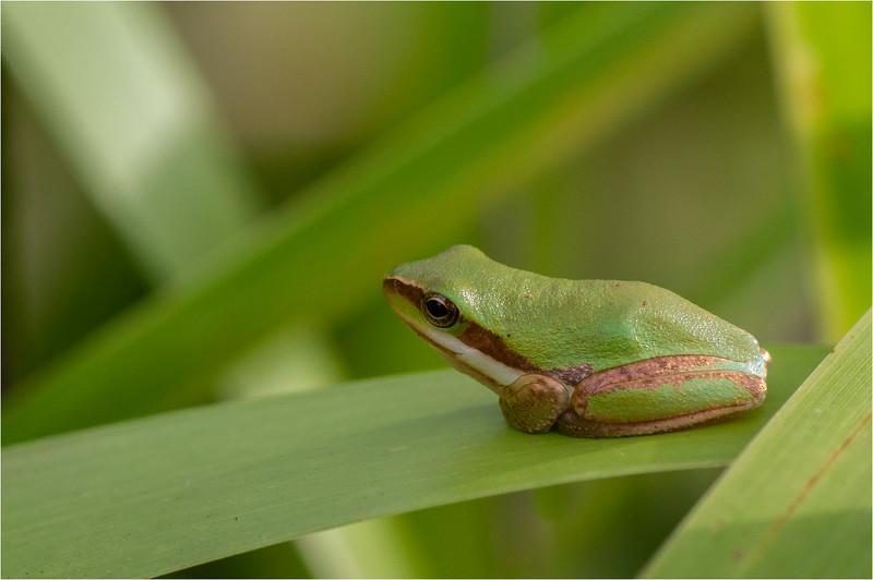 Eastern Sedgefrog 03
