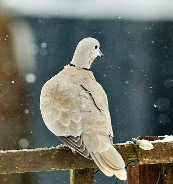 Day 60 - Garden Birds-4426.jpg