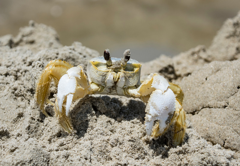 Ghost-Crab-Corolla.jpg