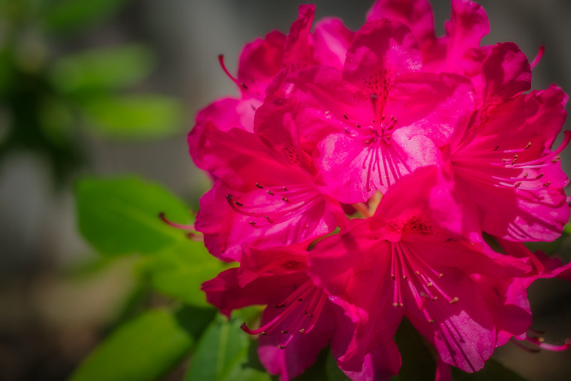 Rhododendron-Red