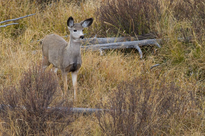 Mule Deer are named for their large ears [October; Yellowstone National Park, Wyoming]