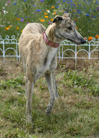 Adopted Greyhounds