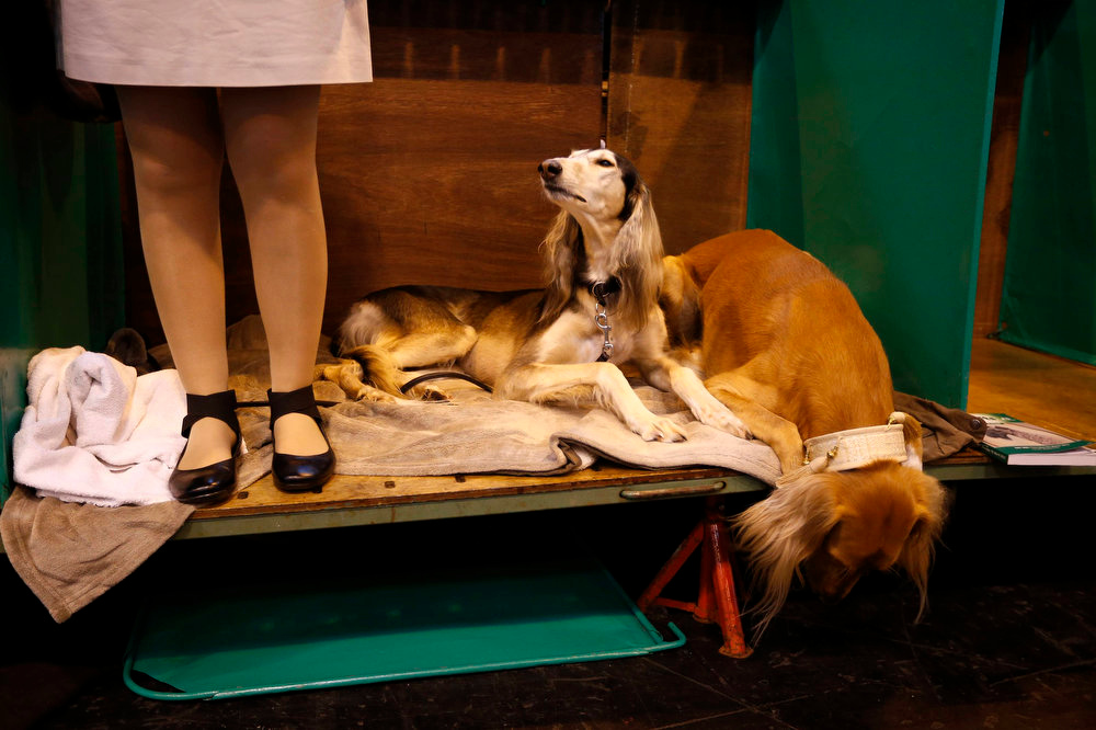 . Two Saluki dogs lie on a bench during the first day of the Crufts Dog Show in Birmingham, central England March 7, 2013. REUTERS/Darren Staples   (BRITAIN - Tags: ANIMALS SOCIETY)