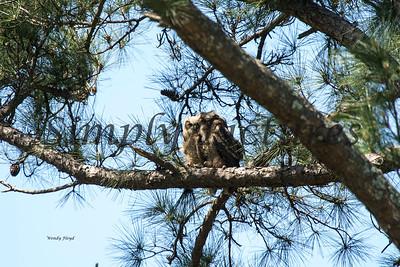 Owl  115