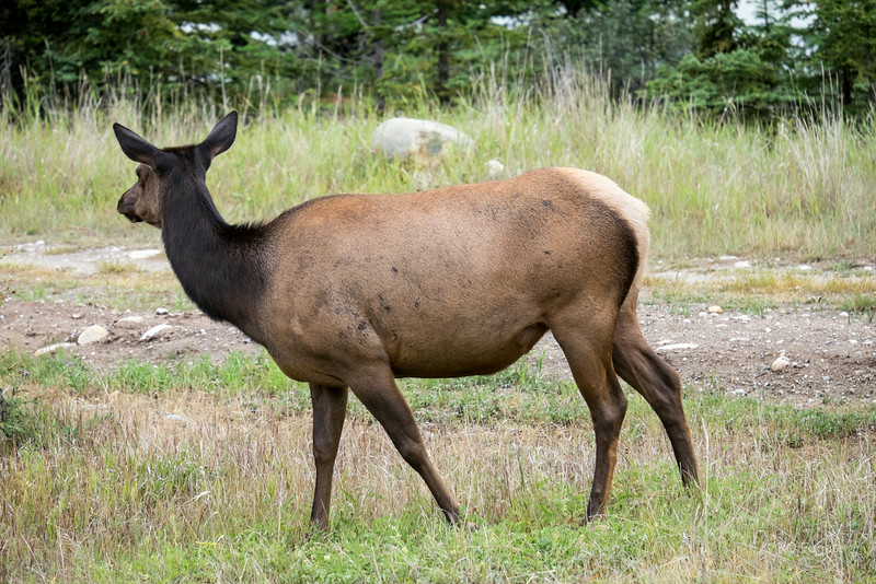 Elk by the road on route 93 south of Jasper