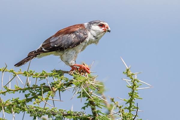 Bird of Tanzania