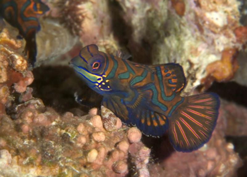 mandarin fish 5 copy.jpg