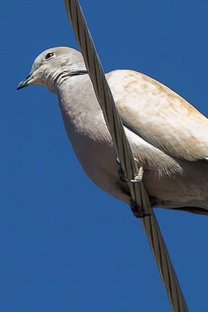Eurasian-collared Doves
