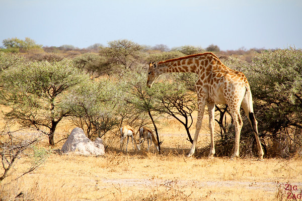 Giraffe eating in Etosha National Park, Namibia 1