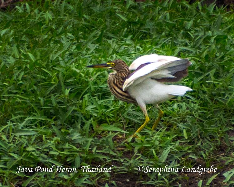 _DSC5147Java Pond Heron.jpg