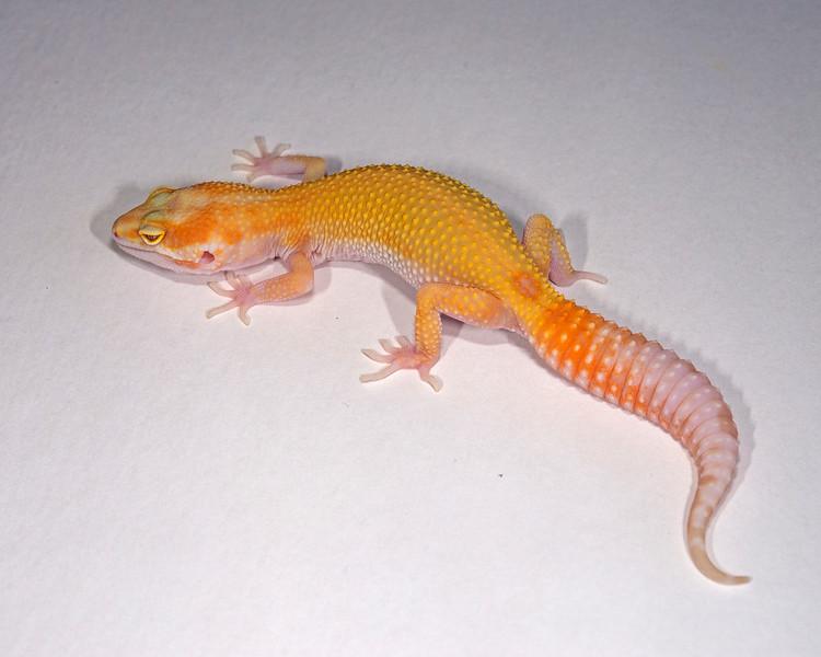 LG0315, Raptor (1 Red eye), hatch 4/30/15, TSF, 23 grams, $55