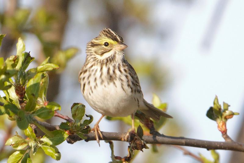 Sparrow - Savannah - Township Road B - Grand Rapids, MN - 02