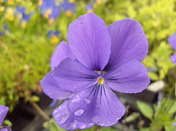 Viola cornuta 'Heaselands'