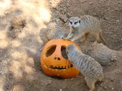 Meerkats and Pumpkins  - 2009