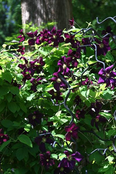 "Clematis ""Romantika""...very black blooms"