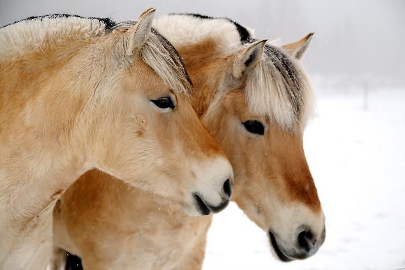 Fjord Horses.jpg