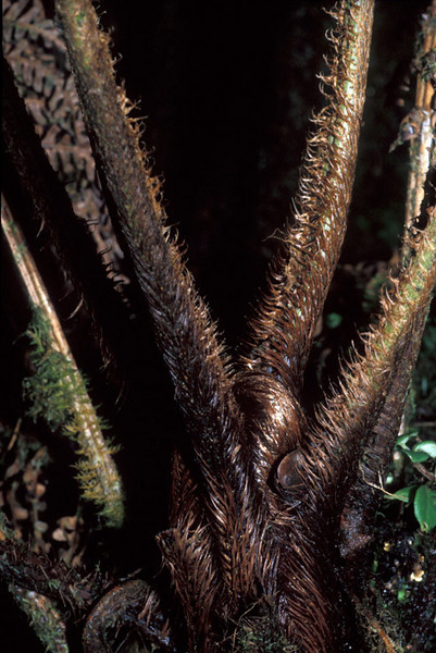 Sadleria pallida (crested) stipes and crozier