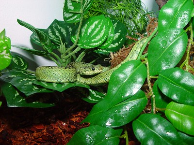 Atheris nitchei
