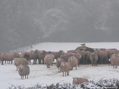 Sheep - Set 1