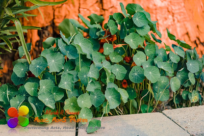a bunch of Nasturtium leaves blocking out the blossoms in the back garden