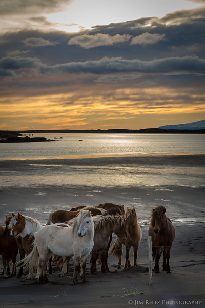 Icelandic horses on the beach at sunset, near Höfn in eastern Iceland.