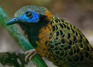 ANT BIRDS  and Cuckoos