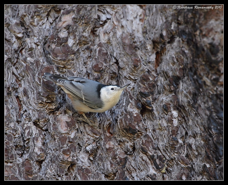 White-breasted Nuthatch, Cuyamaca Rancho State Park, San Diego County, California, October 2010
