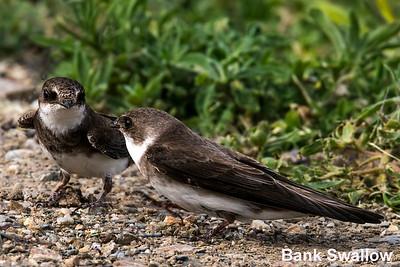 Bank Swallow, Bear River Migratory Bird Refuge UT, USA