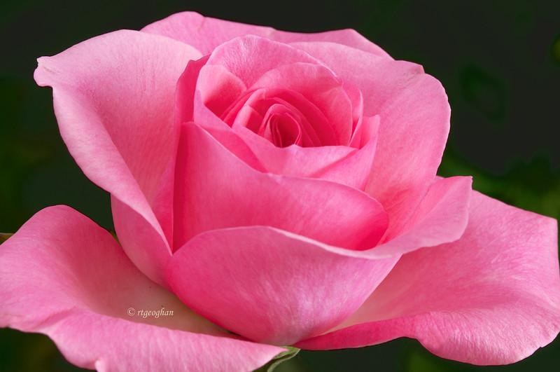 Sept 5_Pink Rose_0157.jpg