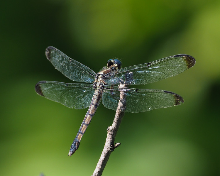 Great Blue Skimmer, female