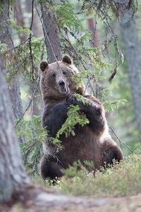 Finland Brown Bears 2019