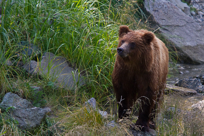 Grizzly bear in Haines, Alaska