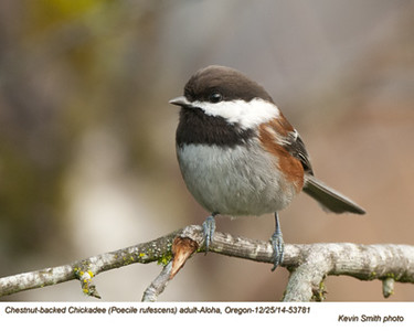 Chestnut-backed Chickadee A53781.jpg