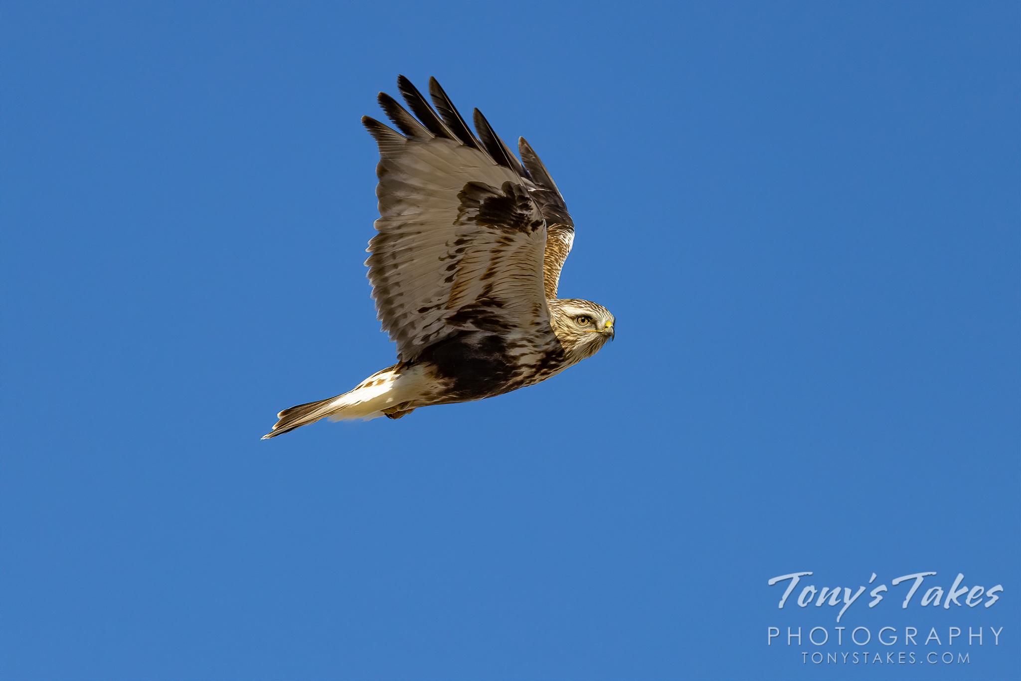 Rough-legged hawk gives a farewell flyby