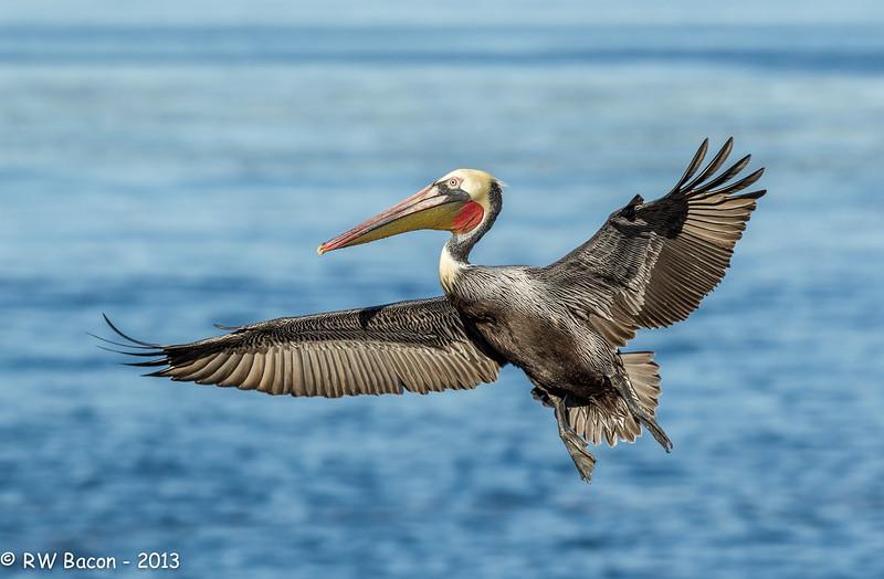 Pelican Full Flaps.jpg