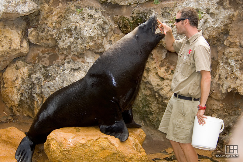 Breath check  Australian Sea-Lion (Neophoca cinerea)