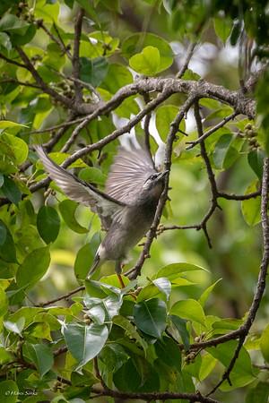 Starling, White-cheeked