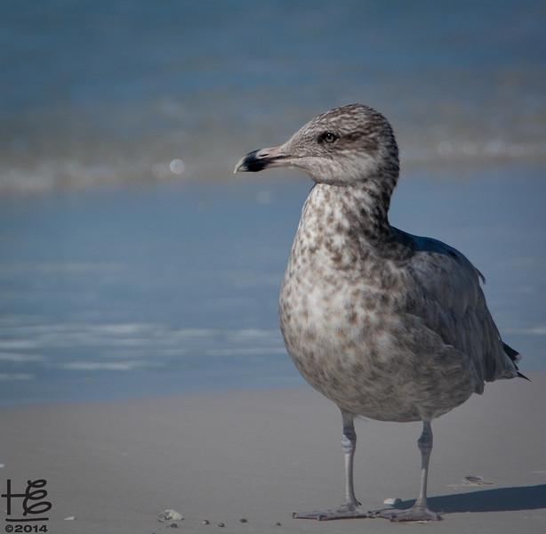 regal large shore bird