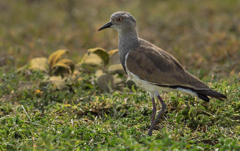 Black-winged-lapwing-adult-Serengeti.jpg