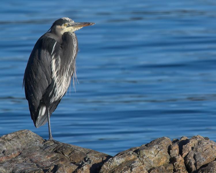 Great  Blue Heron Campbell River Ardea herodias